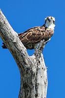 Osprey perches on Cayo Costa, Fort Myers, Florida, USA. Photo by Debi Pittman Wilkey