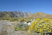 San Jacinto Mountains with Desert Wildflowers