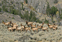 Rocky Mountain Elk herd (Cervus elaphus).  Rocky Mountain area.  Fall.