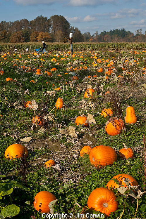 Autumn Pumpkin patch with families and kids gettting ready for halloween