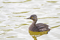 00611-00110 Least Grebe (Tachybaptus dominicus) in wetland, Starr Co., TX