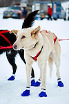 Sled dogs with blue boots waiting for the race. Knik 200 Sled Dog Race, Knik, Southcentral Alaska, Winter.