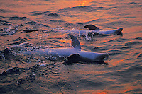 Common Bottlenose Dolphins or Bottle-nosed Dolphins swim on their backs in Pacific Ocean off coast of Honduras.  Sunset.