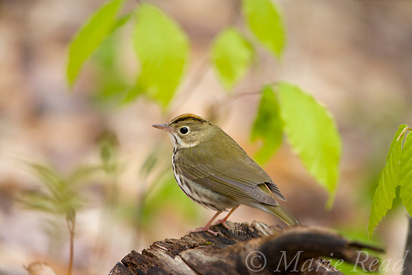 Ovenbird (Seiurus aurocapillus), perched on a log on the forest floor in spring, Dryden, New York, USA