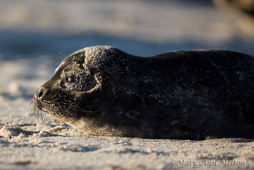 Harbor Seal Pup, Phoca vitulina, La Jolla, Caifornia.