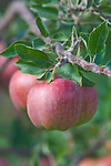 NA; Canada; British Columbia; Okanagan Valley; Apple; Selective Focus;