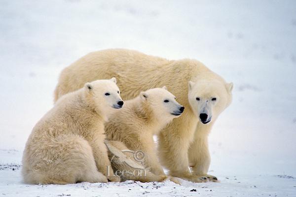Polar bear (Ursus maritimus) female with cubs.  Hudson Bay, Canada.