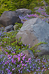 Mount St. Helens National Volcanic Monument, WA<br /> Detail of boulders with lupine and penstemon at Lahar