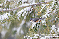 01298-03618 Tufted Titmouse (Baeolophus bicolor) in pine tree in winter snow Marion Co. IL