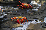 A pair of sally lightfoot crabs on Santiago Island in the Galapagos National Park, Galapagos, Ecuador, South America