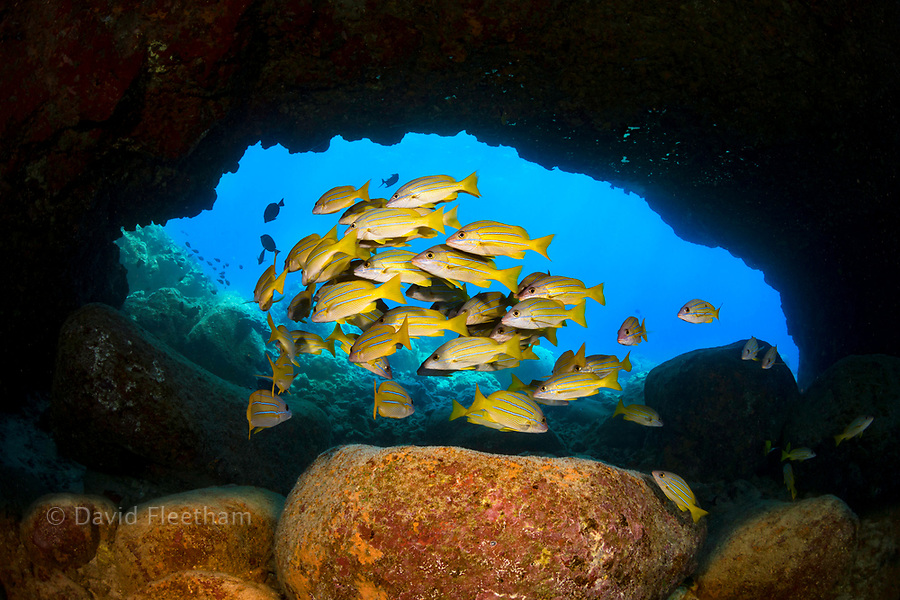 Bluestripe snapper, Lutjanus kasmira, school under an arch on the Kona Coast of the Big Island. They were introduced to Hawaii in 1958 with the thought that they may become a food source.  Hawaii.