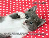 Xavier, ANIMALS, REALISTISCHE TIERE, ANIMALES REALISTICOS, cats, photos+++++,SPCHCATS759,#A#