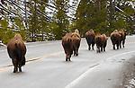 Bison Roadblock, Gibbon River, Yellowstone National Park, Wyoming
