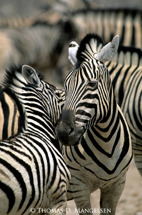 Two Burchell's zebras nuzzle each other in Kenya.