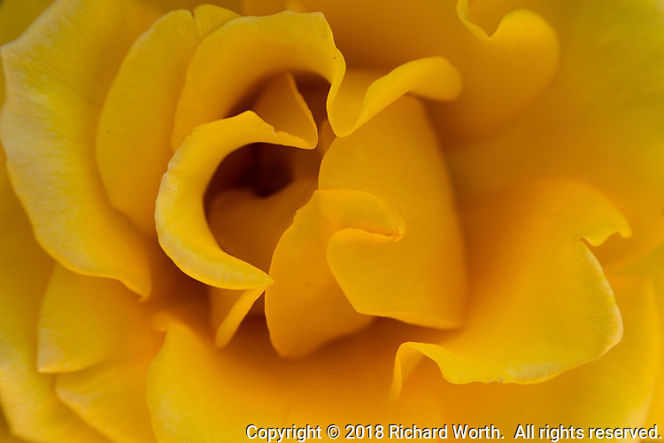 The distinctive curls of a rose's petals in a close-up of a yellow rose.