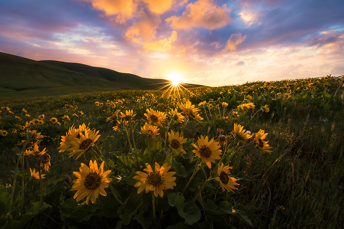 Wild balsamroot carpets the valleys of Oregon's Columbia Hills, illuminated by the rising sun in early spring.<br /> <br /> ARTIST CHOICE: 24x36 Lumachrome/Acylic