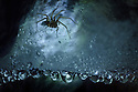 Spider {Tegenaria sp.} in dew-covered web living deep in a limestone cave, Plitvice Lakes National Park, Croatia. January.