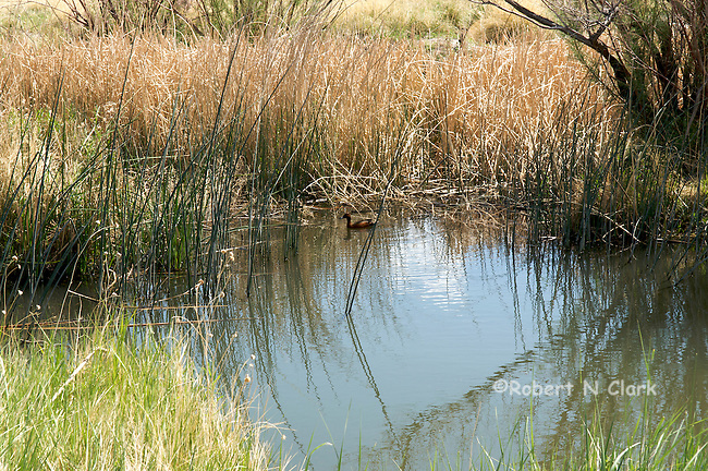 A duck in channel flowing into rewatered lower Owens River