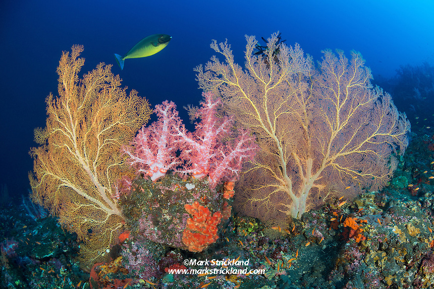 A Sleek Unicornfish, Naso hexacanthus, swims past lush colonies of gorgonians, soft corals and encrusting sponges. Barren Island, Andaman Islands, India, Indian Ocean