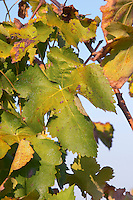 Vine leaf. Mas Comtal, Avinyonet, Penedes, Catalonia, Spain