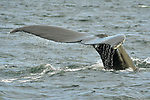 A humpback whale dives at Jeffreys Ledge, near Rye, New Hampshire.
