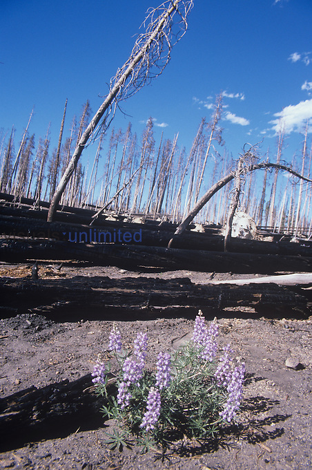 Yellowstone forest fire aftermath. Note the early succession of Lupine flowers.