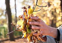 Males hands holding up a handfull of Autumn leaves