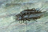 Steinfliege, Paarung, Kopulation, Kopula, Dinocras cephalotes, stonefly, pairing