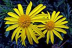 Flores. Margaridas. UK. Foto de Manuel Lourenço.