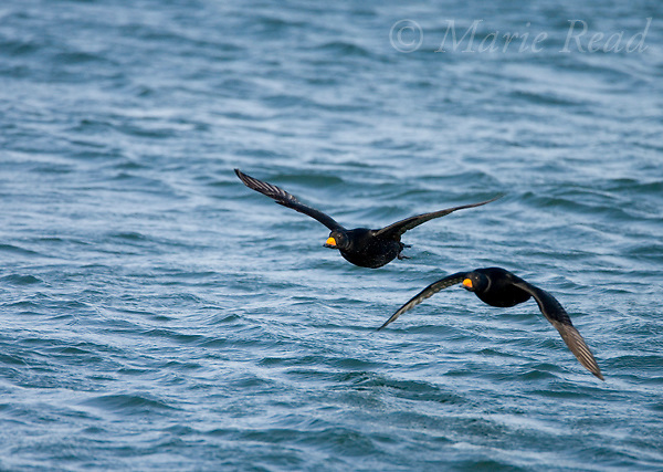 Black Scoters (Melanitta nigra) two adult males in flight, Barnegat Inlet, New Jersey, USA