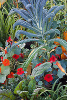 Dinosaur Kale with Tropaeolum nasturtiums edible flowers, peppers in vegetable and flower garden mixture, Italian variety Lacinato 40200