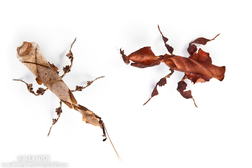 Ghost Mantis  {Phyllocrania paradoxa}male (left) and female (right), showing sexual dimorphism. Captive, Photographed on a white background. Distribution: Africa / Madagascar