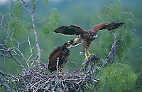 Harris's Hawk, Parabuteo unicinctus,young in nest in Mesquite tree testing wings ca. 5 weeks old, Willacy County, Rio Grande Valley, Texas, USA