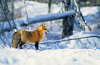 Red Fox in Snow #1