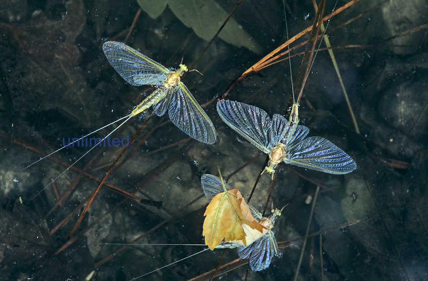 Dead Mayflies floating on water after their spring hatching, Ephemeroptera, North America.