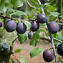 Plum 'Herman', mid July. A Swedish dual-purpose culinary-dessert plum, raised as a cross between 'Czar' x 'Ruth Gerstetter' at Balsgard Fruit Breeding Station in Sweden and first reported in 1972. Medium sized, blue-violet plum similar in appearance to a 'Czar' but both earlier and better flavoured.
