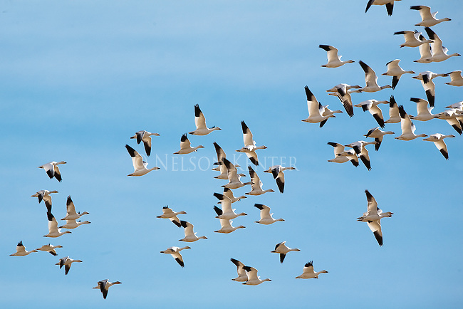 A flock of Snow Geese flying over Freezeout Wildlife Refuge in Montana during spring migration north