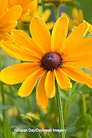 63821-204.14 Indian Summer Black-eyed Susan (Rudbeckia hirta 'Indian Summer') Marion Co. IL