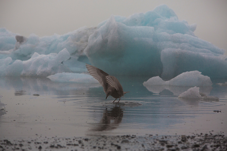 A sea bird lands among icebergs in Portage Lake, near Whittier, Alaska.