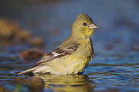 Lesser Goldfinch, Carduelis psaltria, female bathing, Willacy County, Rio Grande Valley, Texas, USA, June 2006