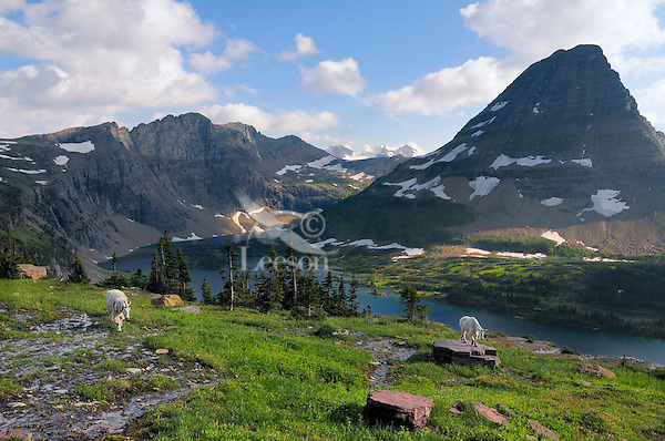 Mountain Goats (Oreamnos americanus) near Hidden Lake and Bearhat Mountain in Glacier National Park, Montana.  Summer.