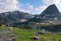 Mountain Goats (Oreamnos americanus) near Hidden Lake and Bearhat Mountain in Glacier National Park, Montana.  Summer.