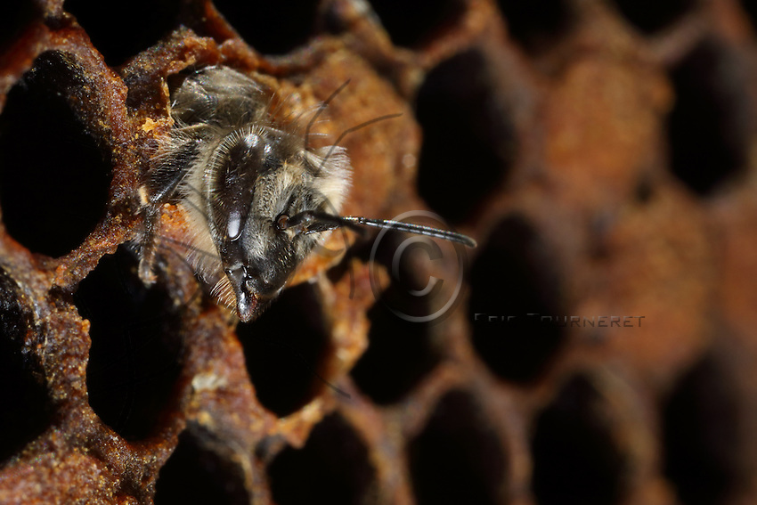 Birth of a young bee which cuts with its mandibles the corolla of wax that allowed for its transformation. /// Naissance d'une jeune abeille qui coupe avec ses mandibules la corolle de cire qui a permit sa transformation.
