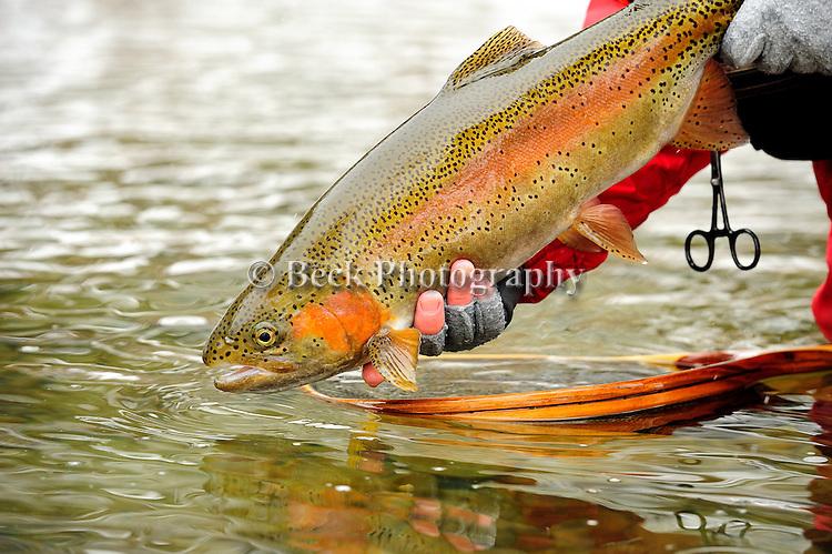 winter rainbow trout 010