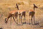 Impala in Tarangire National Park,.(Aepyceros melampus).August 14, 2006. Fitzroy Barrett.