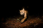 North American Cougar (Puma concolor couguar) female at night, Aptos, Monterey Bay, California