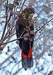 Beautiful Glossy Black Cockatoo photo taken American River Kangaroo Island she was feeding ripe nuts nuts with her Baby