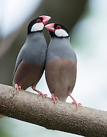 A pair of cute java sparrows; these birds are an introduced species to the Hawaiian Islands.