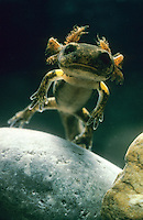 Feuersalamander, Feuer-Salamander, Larve unter Wasser mit Außenkiemen, Salamander, Salamandra salamandra, European fire salamander