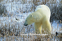 01874-07617 Polar Bear (Ursus maritimus) walking through Willows  Churchill  MB